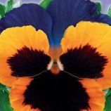Максим F1 семена виолы 12-15см (GL Seeds)