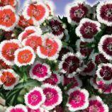 Турецкая семена гвоздики 50-60см (GL Seeds)