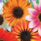 Амаретто F1 семена газании 50-60см (GL Seeds)