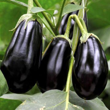 Гордита F1 семена баклажана тип Алмаз среднераннего 350-400 гр. (United Genetics)