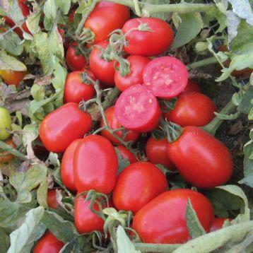 ЮГ 161 F1 семена томата дет. среднесп. 95-105 дн. слив. 70-80 гр. красный (United Genetics)