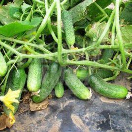 семена огурца платина f1