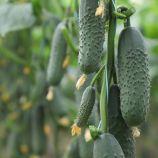 КС 707 F1 (KS 707 F1) семена огурца корнишона партенокарп. раннего 10-12 см (Kitano Seeds)