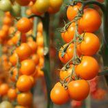 КС 1549 F1 (KS 1549 F1) семена томата индет. раннего 105-115 дн. коктейл.40-50 гр. желт. (Kitano Seeds)