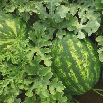 КС 635 F1 (KS 635 F1) семена арбуза тип кр.св. раннего 65-70 дн. 2,5-4 кг (Kitano Seeds)