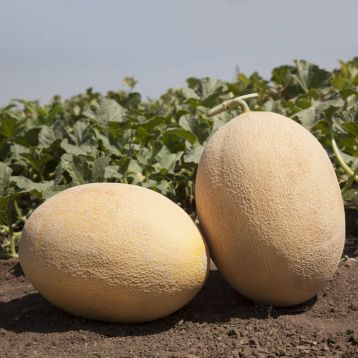 КС 6191 (KS 6191) F1 семена дыни тип Ананас средней 80-85 дн. 3-4 кг овал. оран./оран. (Kitano Seeds)