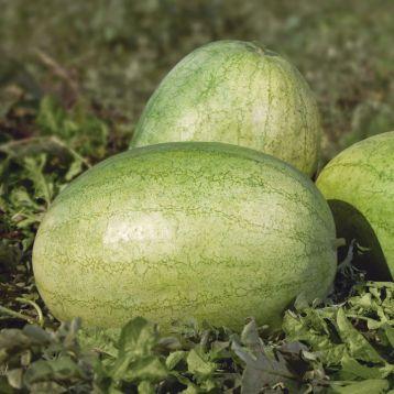 КС 1819 F1 (KS 1819 F1) семена арбуза тип Чарльстон Грей среднего 10-12 кг удл. (Kitano Seeds)