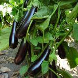 Кемер 27 семена баклажана тип Алмаз раннего 75 дн. 18-20 см. (BT Tohum)