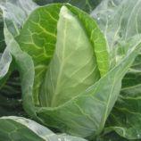 Грет Оксхат семена капусты конической средней 100 дн. 1,4-1,6 кг зел. (Hortus)