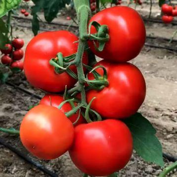 Булз семена томата индет. красный (Yuksel)