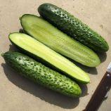 Бадэ F1 (Баде F1) семена огурца партенокарп ультрараннего 12-14 см (Yuksel)