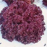 Матадор семена салата тип Лолло Росса красн. дражирован. (Isi Sementi)