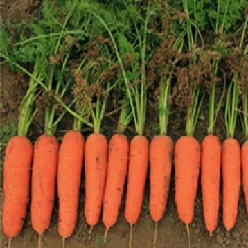 Ти-134 F1 семена моркови тип Курода средней 110-115 дн. 17-18 см (Takii Seeds)