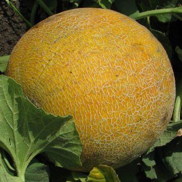 Титовка семена дыни тип Галия ультраранней 55-60 дн 1,5-2 кг окр. (Свитязь) НЕТ ТОВАРА