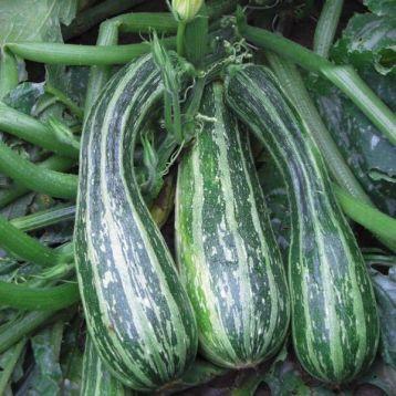 Зебра семена цуккини раннего 35-40дн. полосат. (Свитязь) НЕТ ТОВАРА