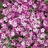 Мираж семена гипсофилы 40-45см (GL Seeds)