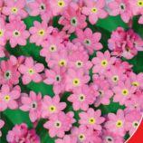 Виктория Роуз семена незабудки 15-20см (GL Seeds)