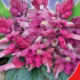 Рожеве сяйво насіння сальвії (GL Seeds)