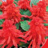 Файер Квин семена сальвии сверкающей 25-30см (GL Seeds)