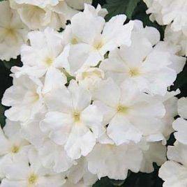 Кварц F1 белая семена вербены гибридной (Pan American)