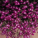 Лобелия каскадная Регатта розовая