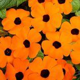 Тунбергия Сюзанна (Orange with Eye) оранжевая с глазком