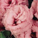 Эустома АВС 2 F1 розовая (pink)