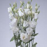 Эустома АВС 1 F1 Белая (Lisianthus russeliana F1 ABC White)