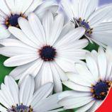 Кокосовый лед семена диморфотеки 40-60см (GL Seeds)