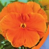 Фиалка Витрокка оранжевая (orange) семена двух. 20см (Moravoseed)