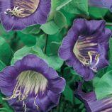 Кобея Ползучая фиолетовая (purple)