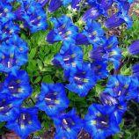 Горечавка (Герциана) синий (blue)