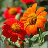 Титония круглолистная оранжевая