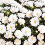 Астра карликовая белая (White)
