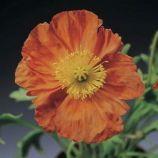 Мак Пульчинелла оранжевый (orange)
