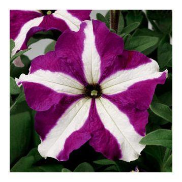 Петуния Тритуния пурпурная звезда