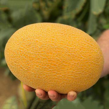 Радміла F1 (Медетлі) насіння дині типу Ананас (Yuksel)