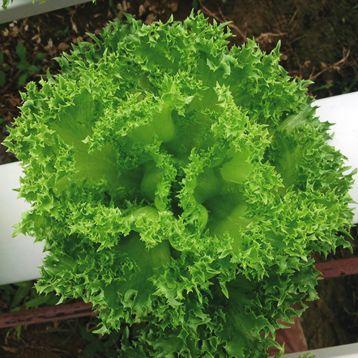Криспинет семена салата тип Лолло Бионда зел. (Enza Zaden)