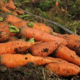 Красавица семена моркови Шантане (Semenaoptom)