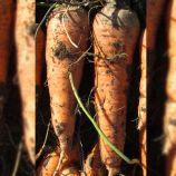 Лосиноостровская семена моркови Флакке (Semenaoptom)
