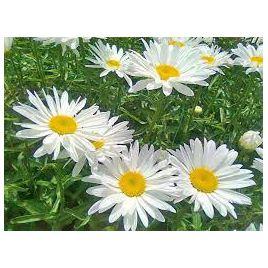 Ромашка крупноцветковая белая семена мн. (Moravoseed)