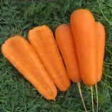 Боливар F1 (1,6-2,0) семена моркови Шантане средней (Clause)