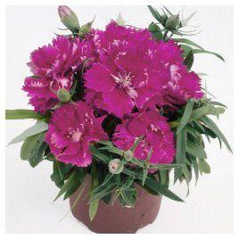 Грейс F1 темно-розовая семена гвоздики китайской махровой (Hem Zaden)