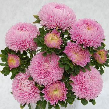 Айстра Сірінга світло-рожева