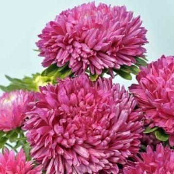 Айстра Сірінга рожева