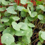 Микрозелень (микрогрин) настурции