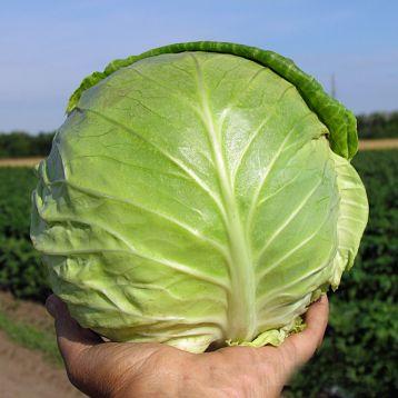 Аванте F1 семена капусты б/к средней (Lucky Seed )