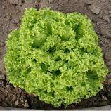 Лозано насіння салату тип Лолло Біонда дражироване (Rijk Zwaan)