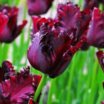 Тюльпан Блек Перрот