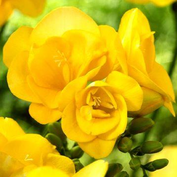 Фрезія жовта